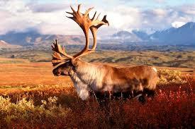 caribou 1